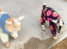 goats in pajamas