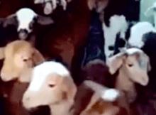 goats talking back