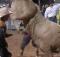 bull kicks face